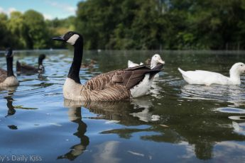 reflection on geese in water