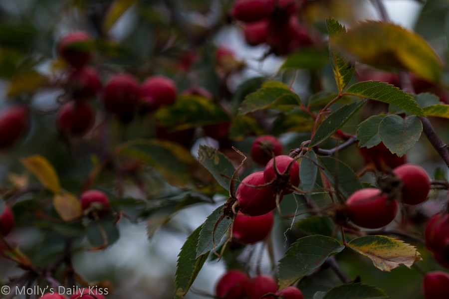 swelling red rose hips