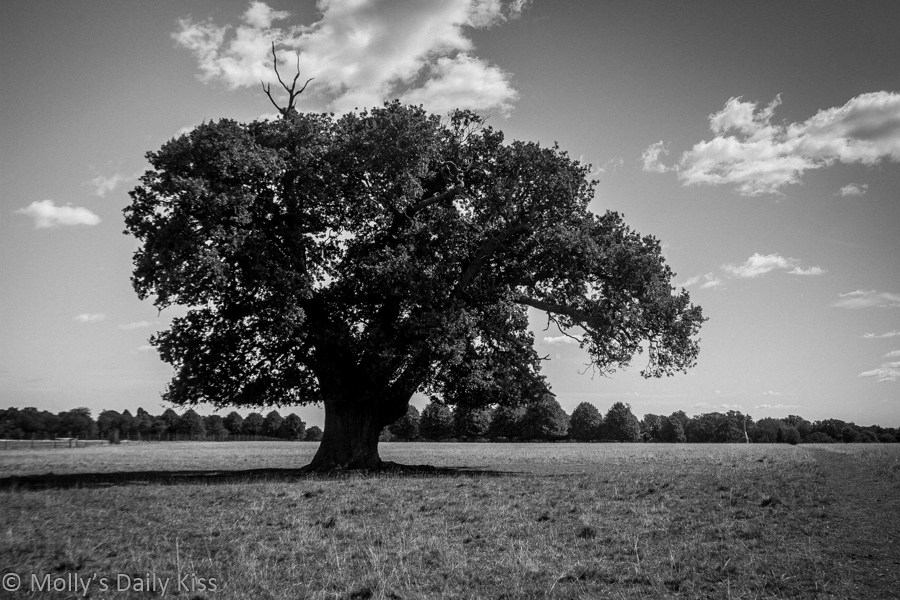 Large oak tree in field is ancient law of life