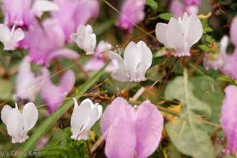 cyclamen pink and white