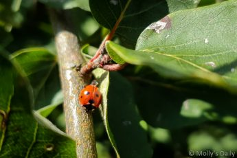Ladybird on stem is a colourful insect