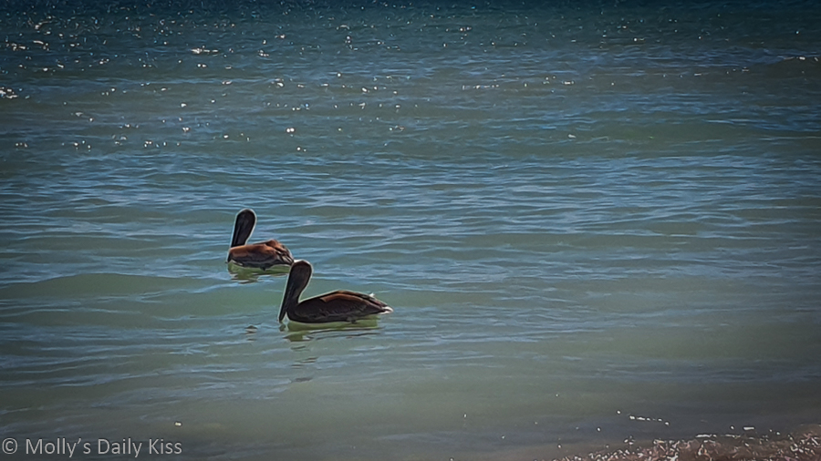 Pelican on the sea at Siesta Keys