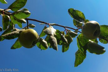 Quince on tree brunch against blue sky