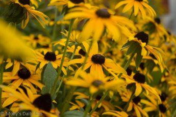 sunlike Yellow ox eye daises