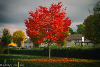 tree with bright red autumn leaves