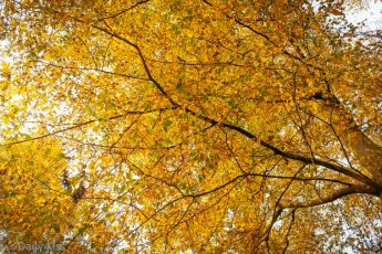 looking up at golden autumn leaves on tree