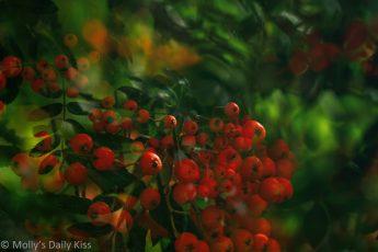 ;ast red berries double exposure