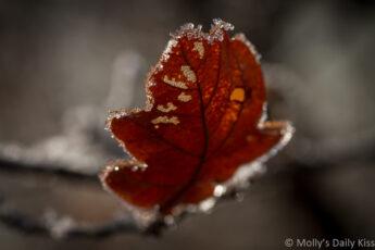sunlight in brown oak leaf edged in crisp frost