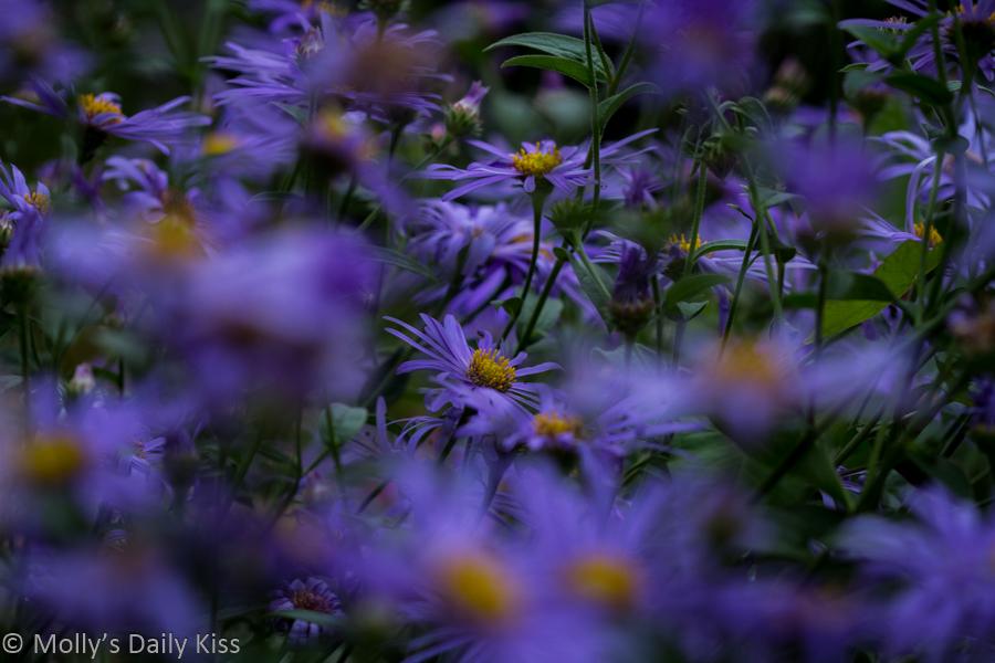 a flower blooms in a sea of purple flowers