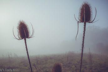teasals in the november mist