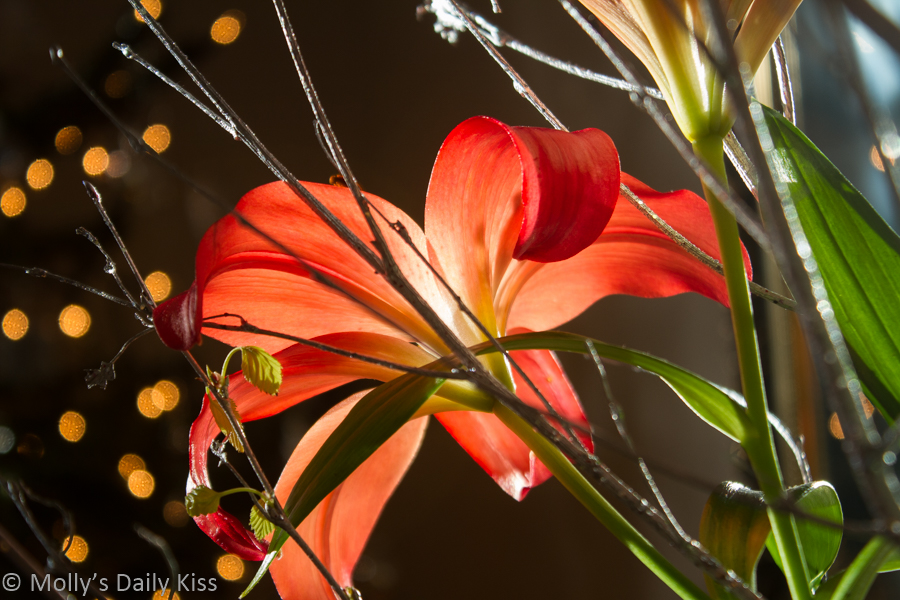 Sngle orange lily against bokeh lights of Christmas tree