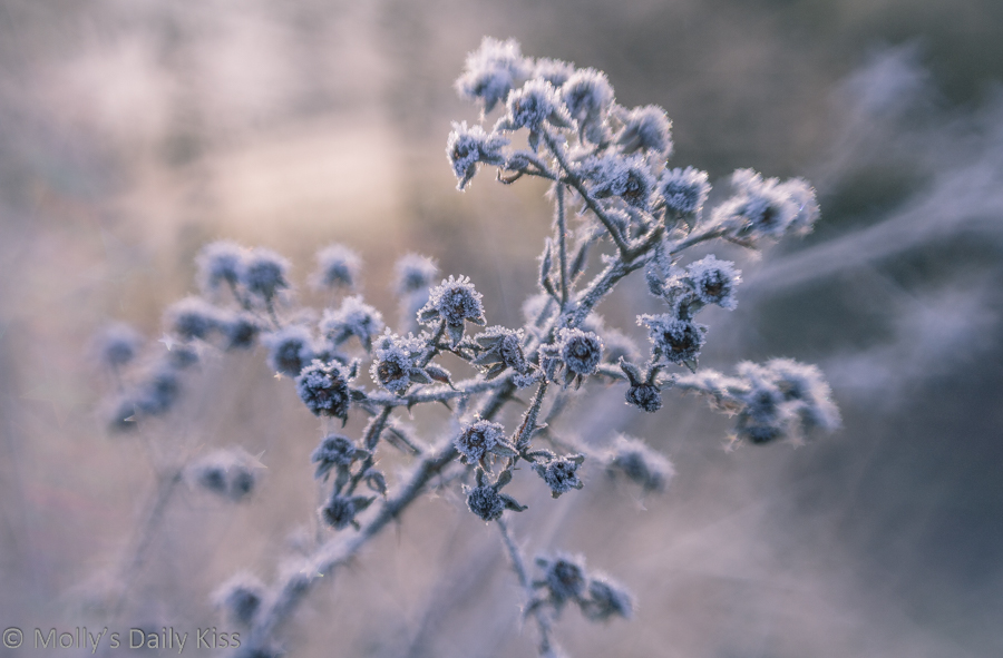 Frosted seedhead in winter hues colours