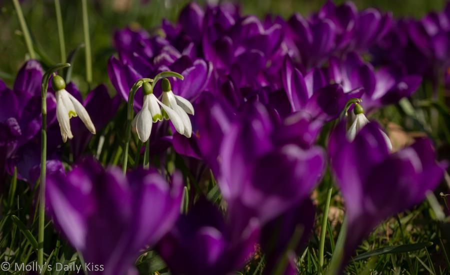 white snowdrops in purple crocus are alive in spring