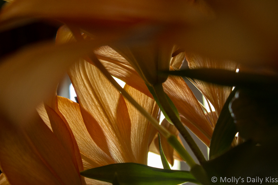 looking through the stems of orange lillies