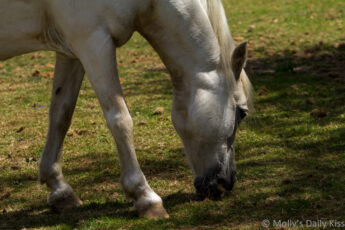 white horse eating grass is contentment