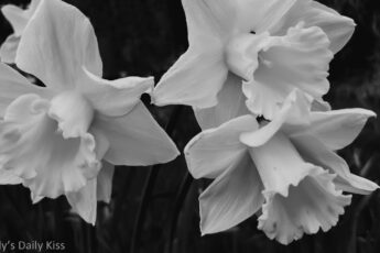black and white of daffodils coming in the spring
