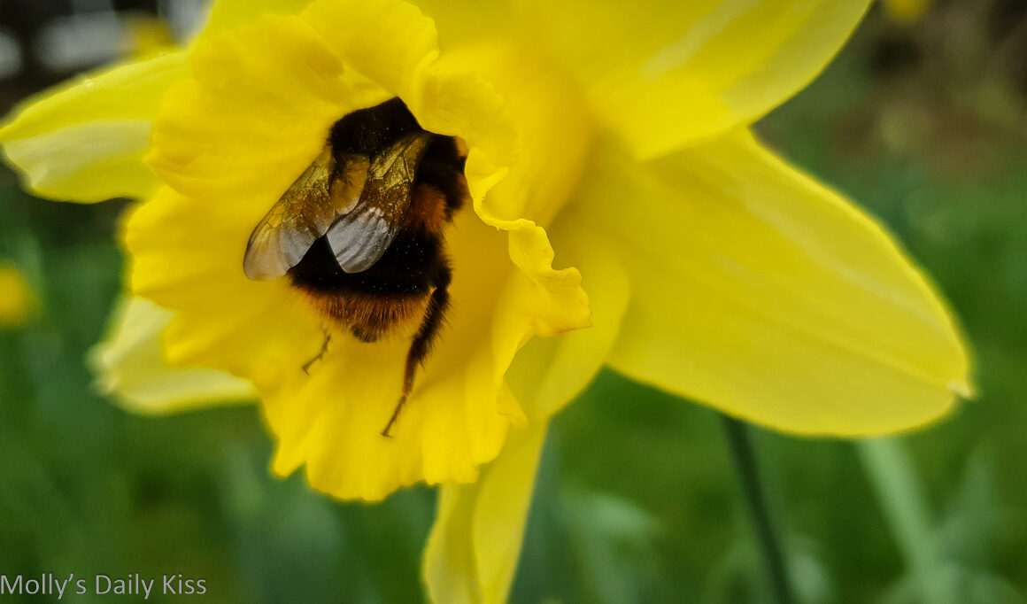 Bumble bee in yellow daffodil