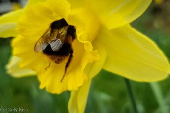 Bumble bee in yellow daffodil