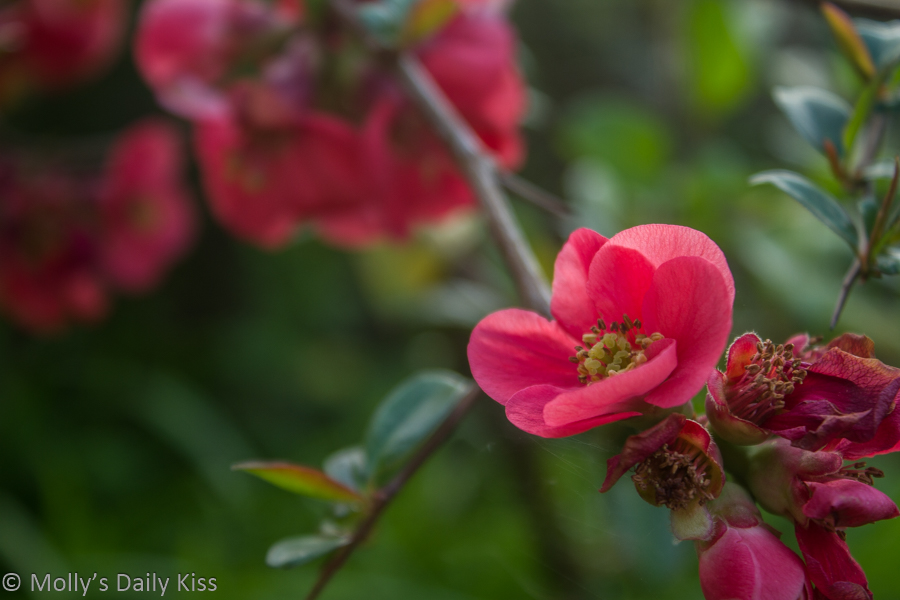 japonica pink blossom is your world