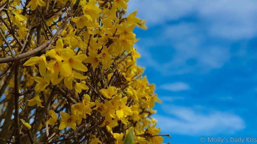 """Yellow forsythia against blue sky"