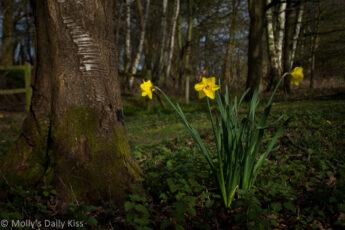3 daffodils nestling flowers in woodland
