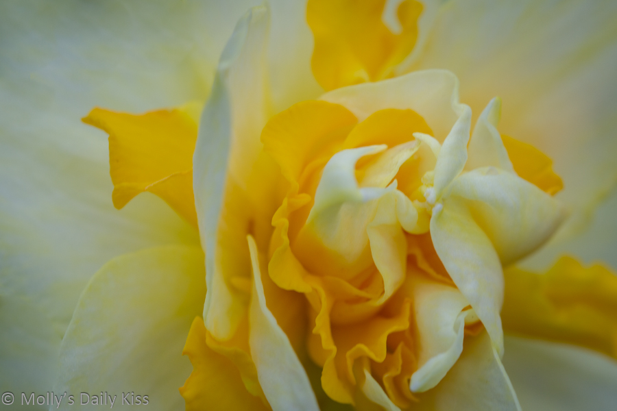 macro shot of daffodil centre