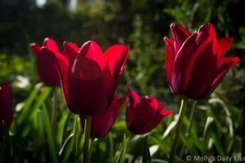 red tulips jostle in the sunlight