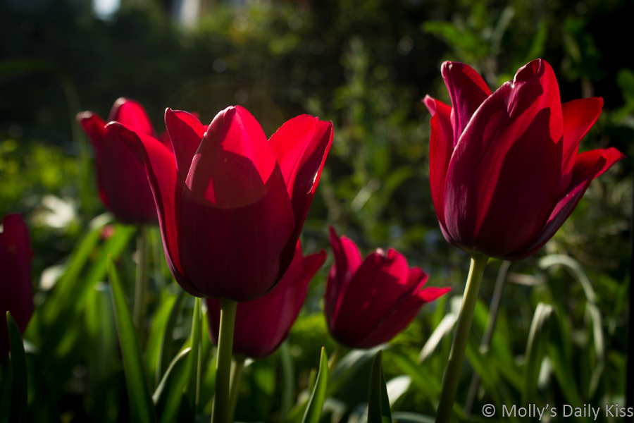 red tulips jostle in the sunlight