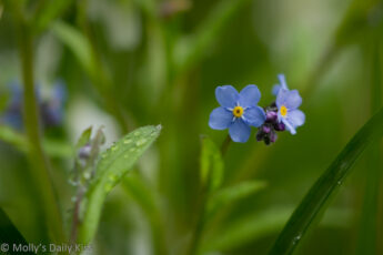 Tiny forget me not blue flower in green grass is its own beauty