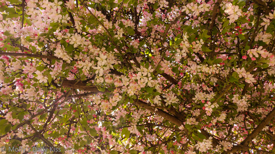Pink blossom on trees is magic and wonder