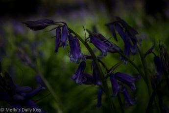 Bluebells revive