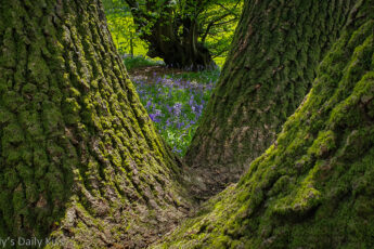 bluebells through the trees are the galddest flowers