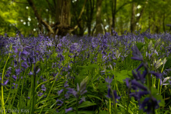 Bluebells in the woods for post called faith