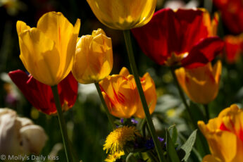 a hundred red and yellow tulips in the sun