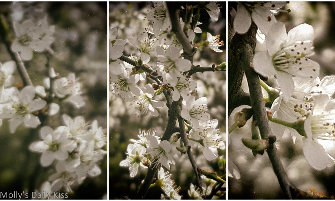 white blossom recklessly blooming in triptych image