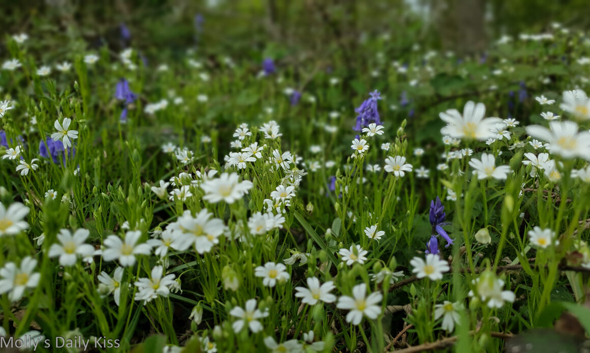 timy white spring flowers with bluebells