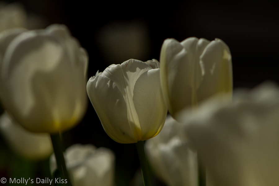 white tulips on spring day