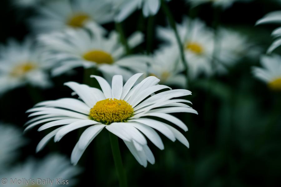 Performance of white daisy