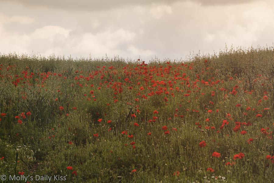Red poppies in meadow field
