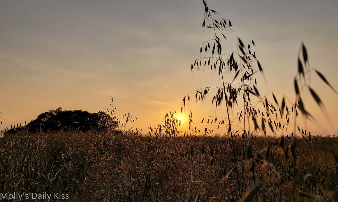 sunsetting through crop field is the edge of the earth