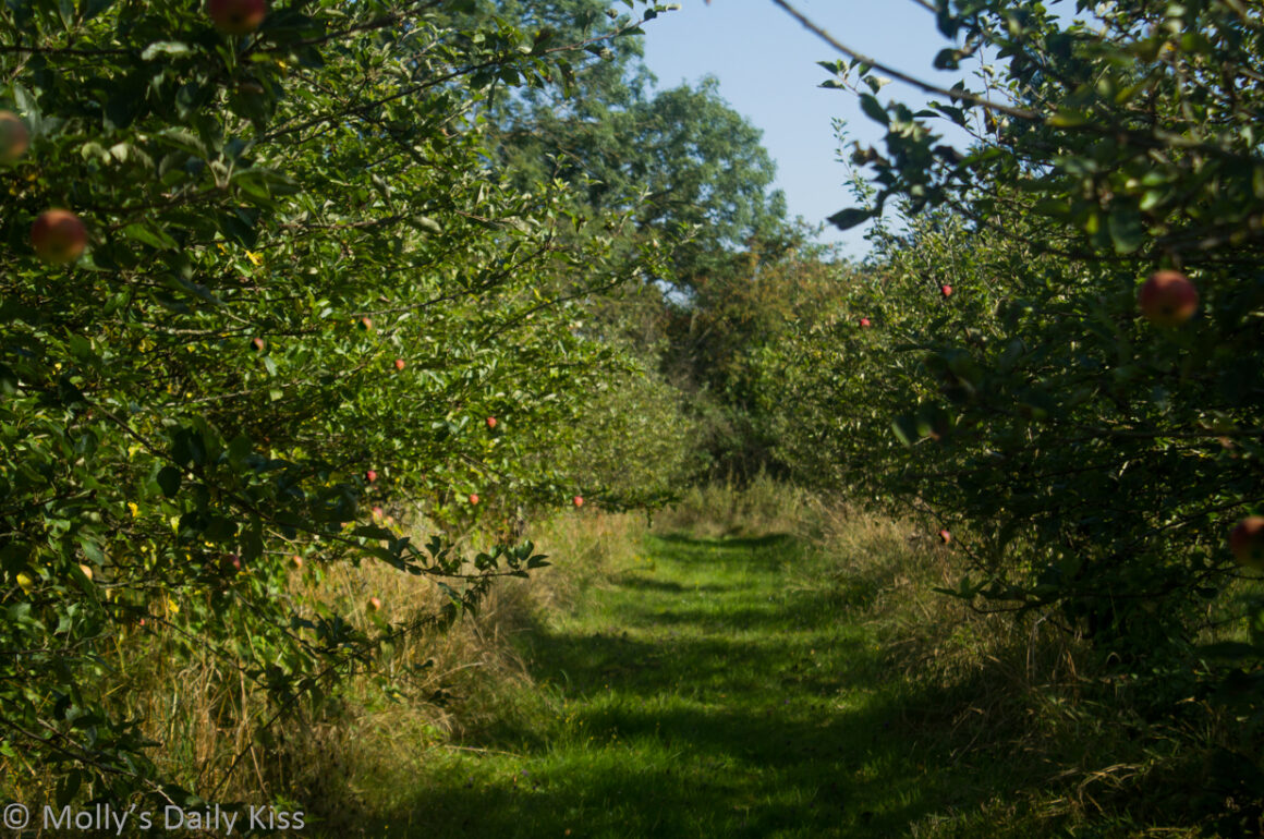looking down row of apple trees past red palles in an orchard