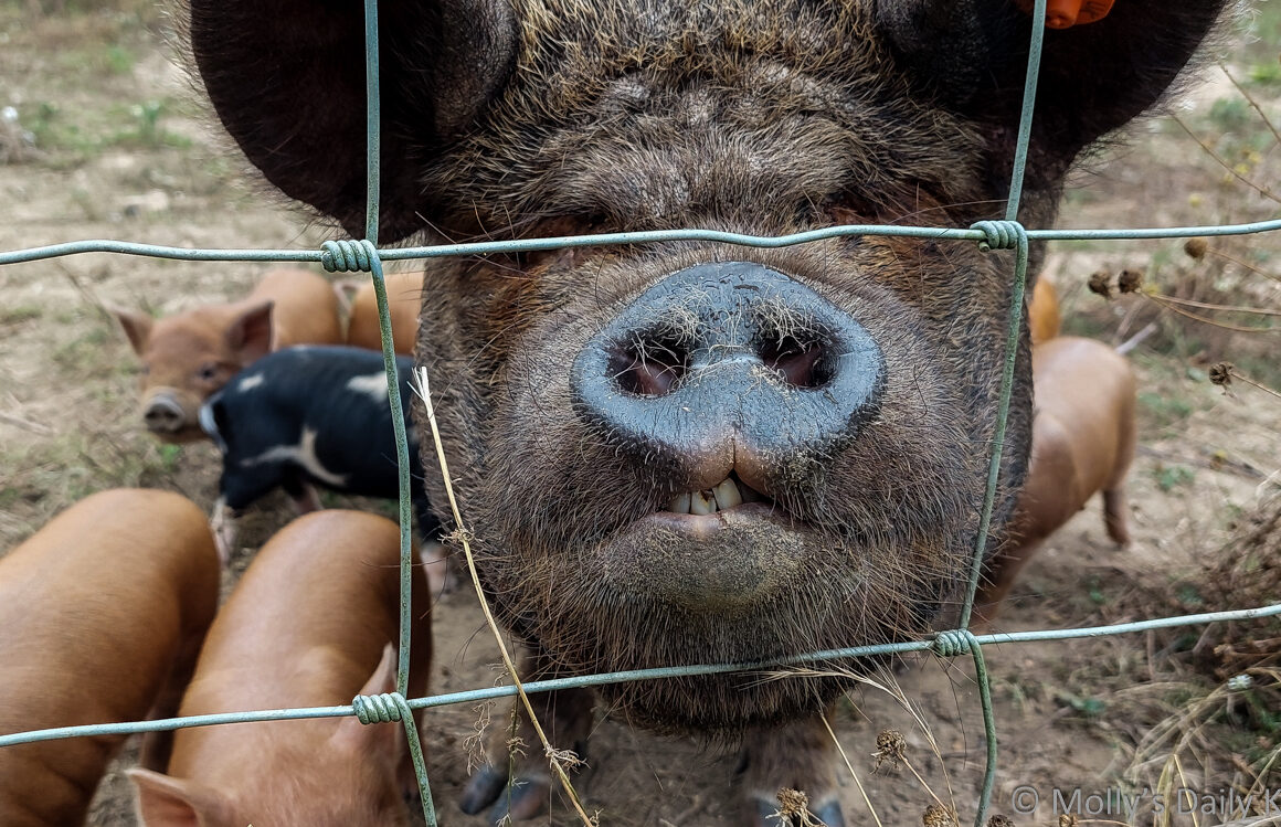 Close up of pig snout looking through fence
