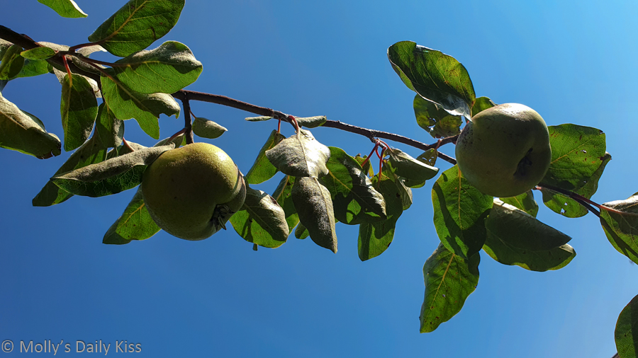 Looking up at fruit tree branch bearing fruit against blue sky