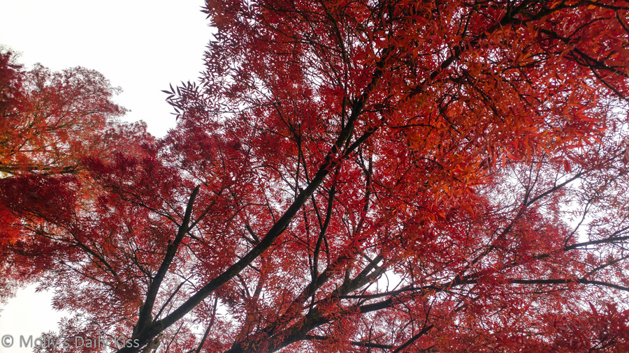Looking up at tree covered in red leaves