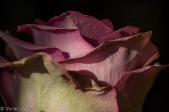 pink rose petals by petals